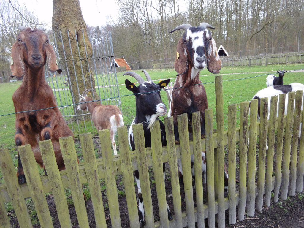 De geiten (ik vind het net honden) komen ook kijken